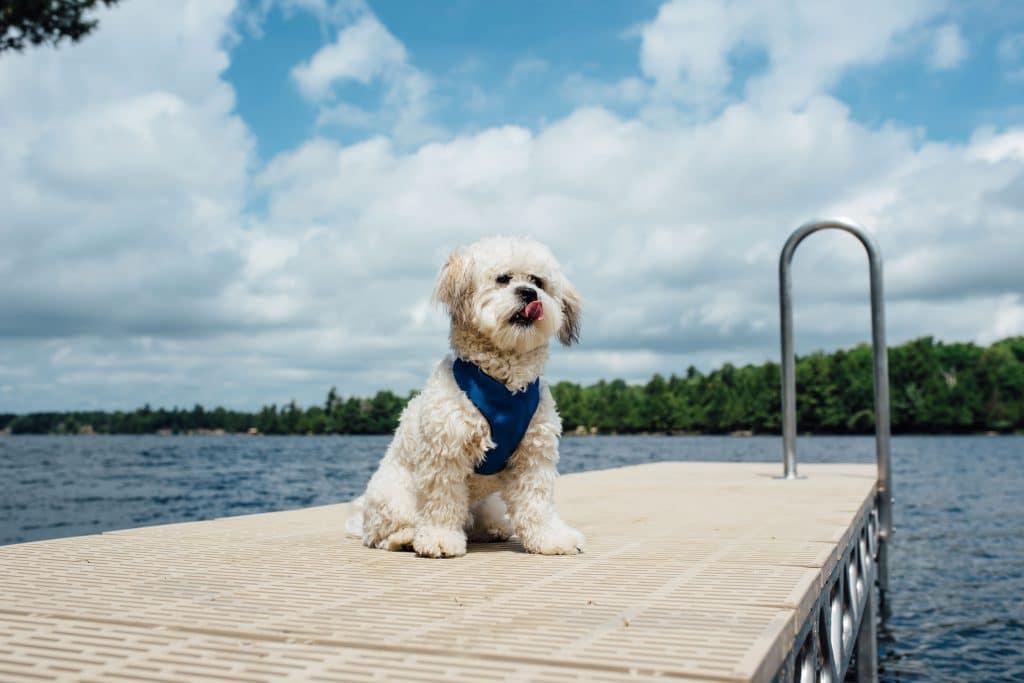 Cute dog on CanadaDocks dock with thruflow decking